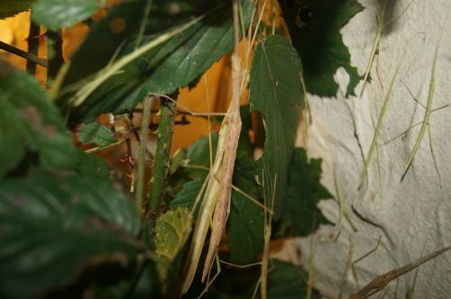stick insect scare insect