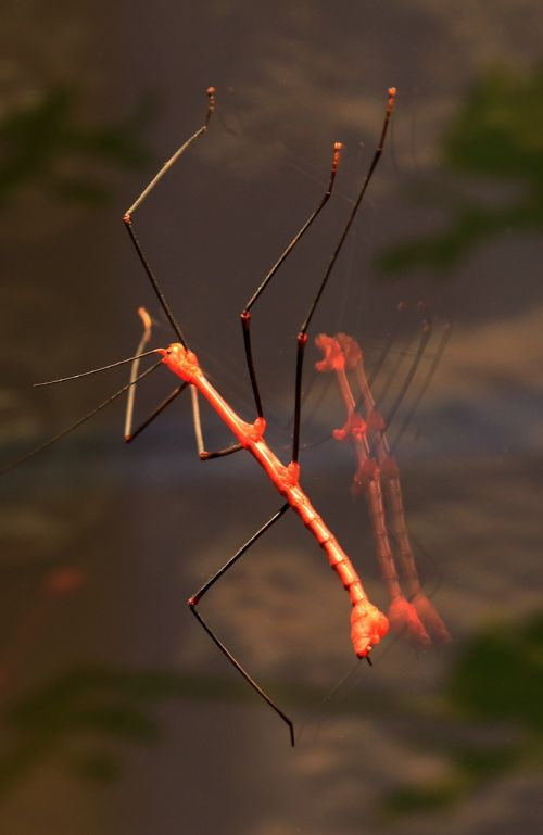 stick insect grasshopper red