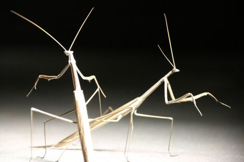 stick insect insect close-up