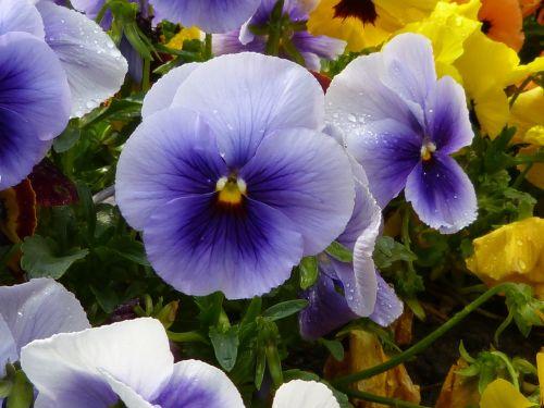 stiefmütterche violet pansy