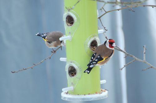 stieglitz goldfinch food column