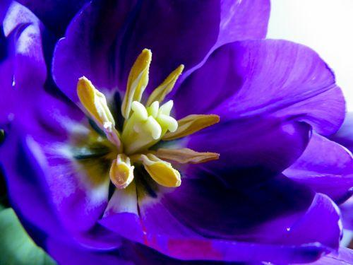 Stigma Of A Tulip