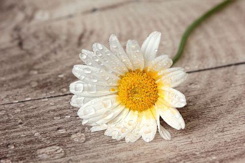 still life flower marguerite
