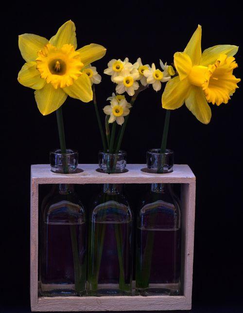 still life osterglocken yellow daffodils