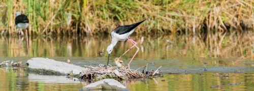 stilt bird nest stilt