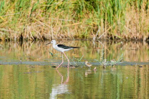 stilt bird young nest