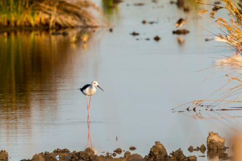 stilt bird stilt mirroring