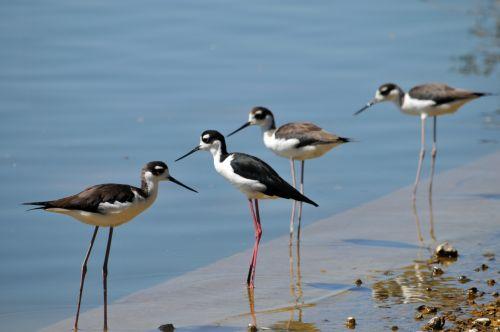Stilts Birds