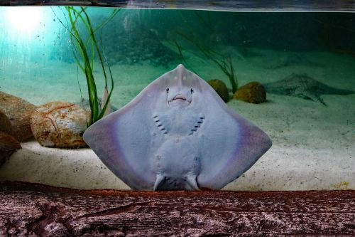 sting ray flat fish sting