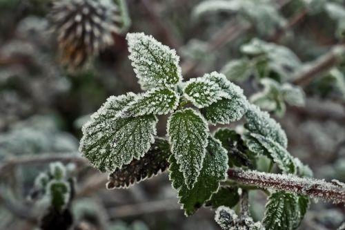 stinging nettle frost hoarfrost