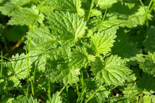 stinging nettle urtica urticaceae