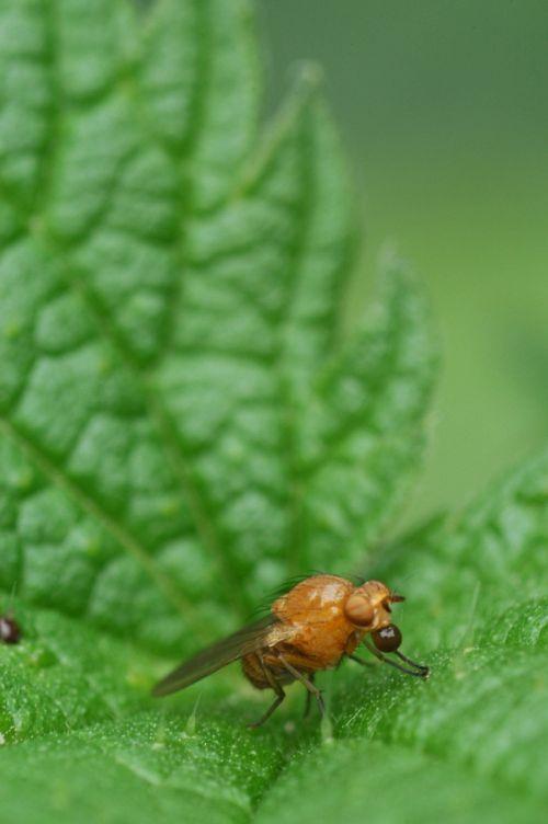 stinging nettle bug nature