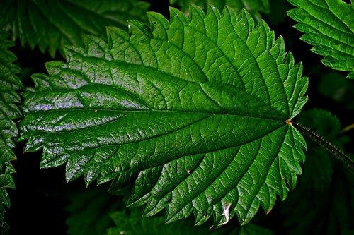 stinging nettle  macro  leaf