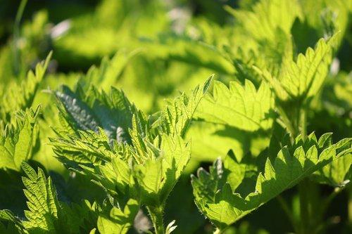 stinging nettle  urtica  nettle leaves