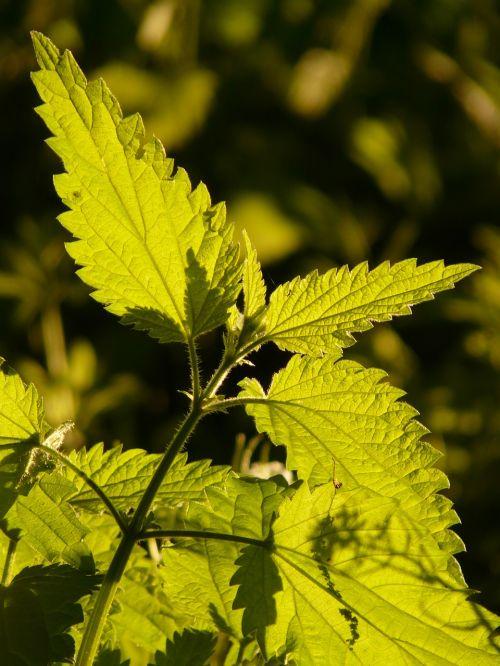 stinging nettle green plant