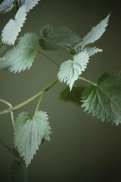 stinging nettle plant weed