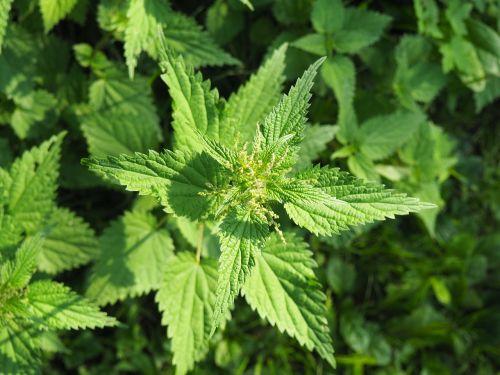 stinging nettle nature medicinal plant