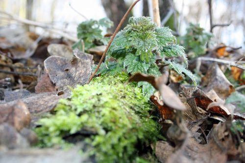 stinging nettle plant forest floor