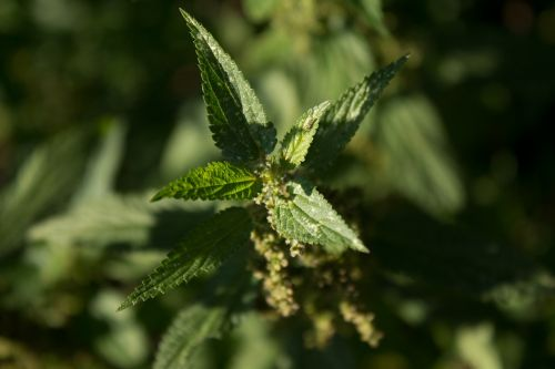 stinging nettle plant green