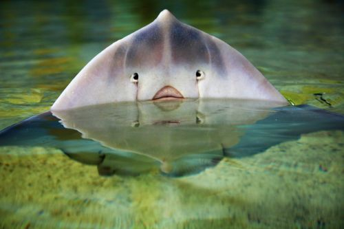 stingray fish ocean