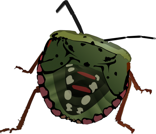 stink bug bug insect