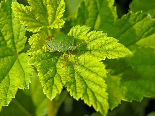 stink bug  green  close up