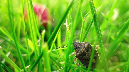 stink bug bug grass
