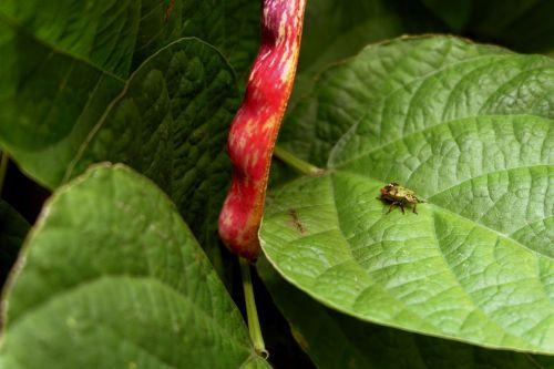 stink bug green leaf