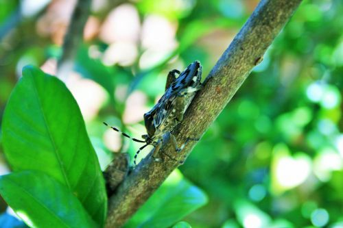 Stink Bug On Branch