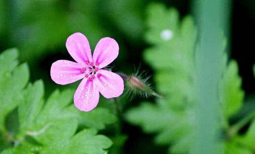 stinking cranesbill ruprecht herb purple