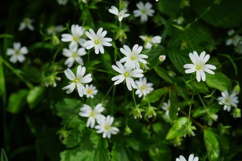stitchwort flowers white