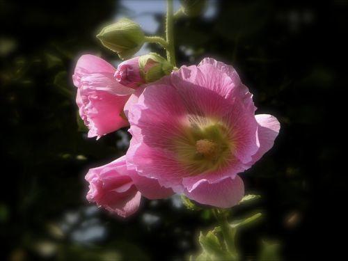 stock rose pink flower stock rose garden