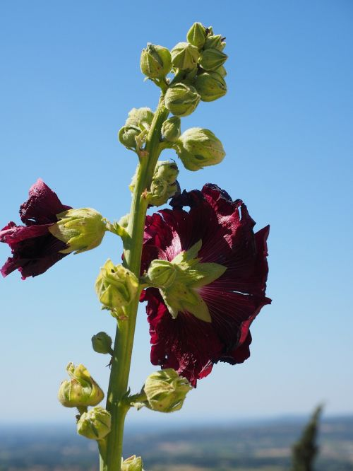 stock rose alcea rosea purple