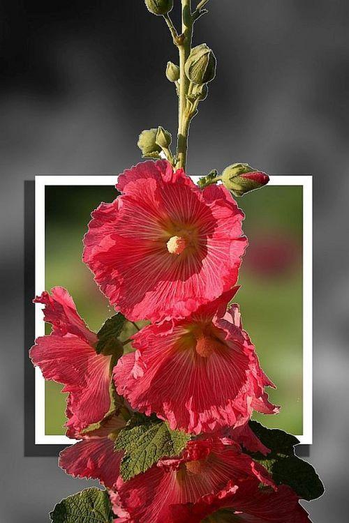 stock rose flowers photoshop