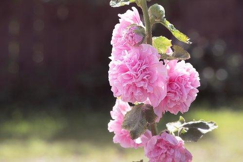 stock rose  pink  pink hollyhock