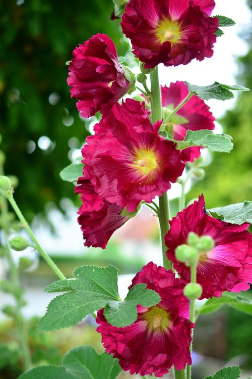 stock rose  hollyhock  poplar garden rose