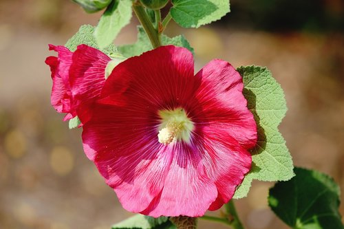 stock rose  dark pink  alcea rosea