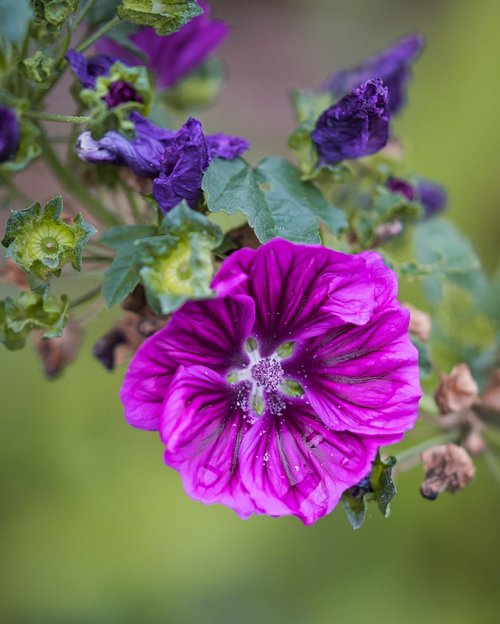 stock rose  hollyhock  bright