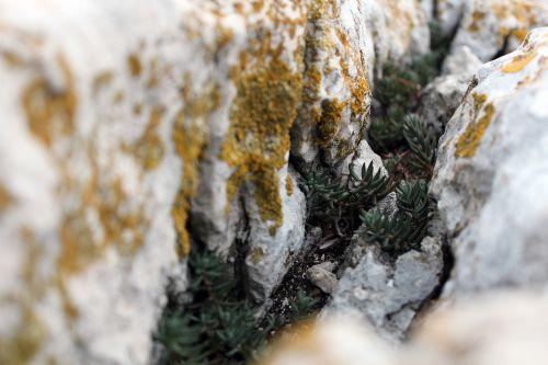 stone macro mini plant