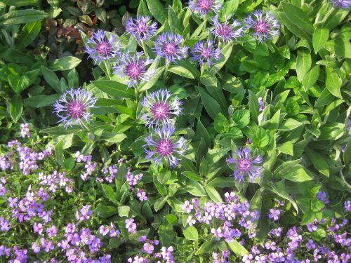 akmeninis derlius,gėlė,žiedas,žydėti,vasara