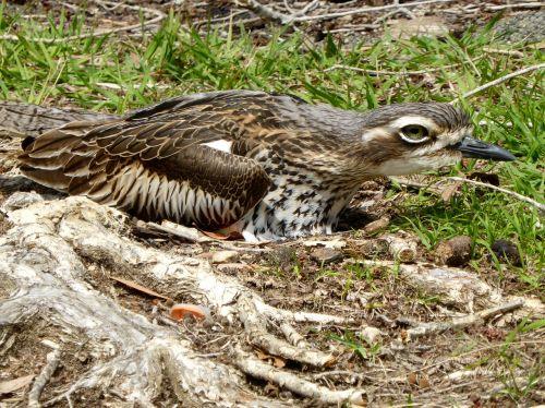 stone curlew burhinus oedicnemus nesting