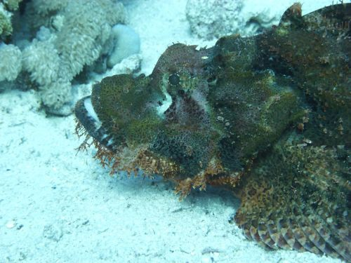 stone fish red sea meeresbewohner