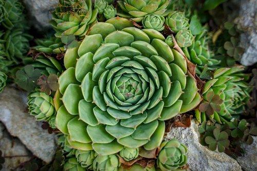 stone flower  flower  cactus