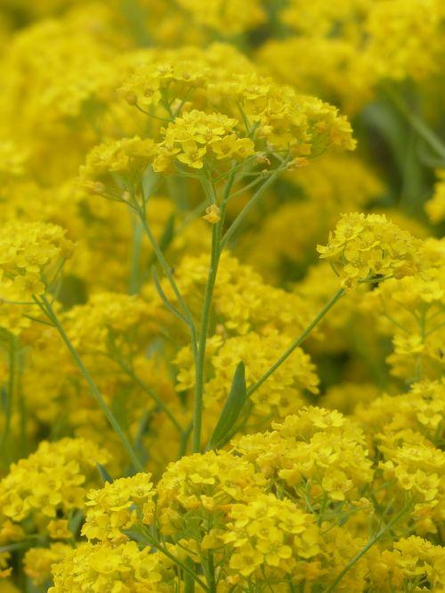 stone herb flowers yellow
