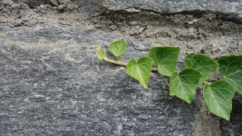 stone wall ivy hedera