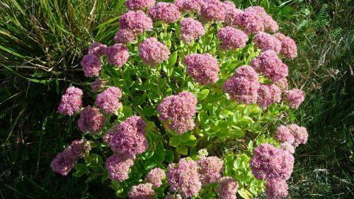 stonecrop flower sedum