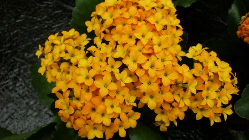 stonecrop flower yellow orange