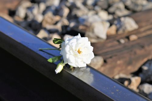 stop children suicide tiny fragile white rose railway