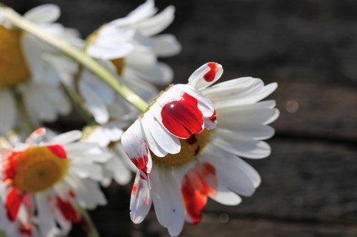 stop youth suicide  blood drop on daisy  tragedy