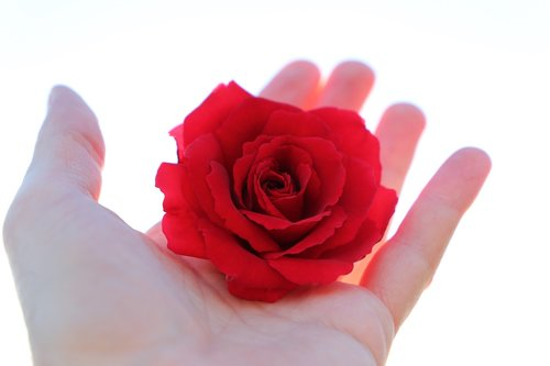 stop youth suicide  red rose in hand  with love